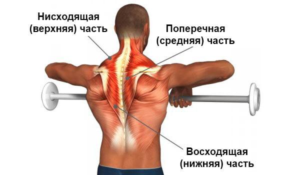 Части трапеции мышцы