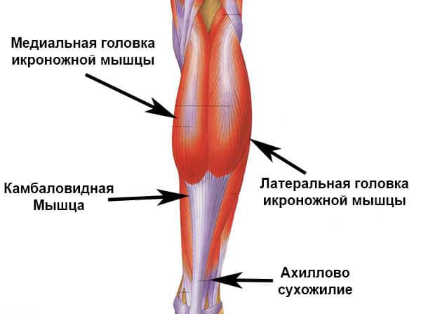 Строение икроножной мышцы