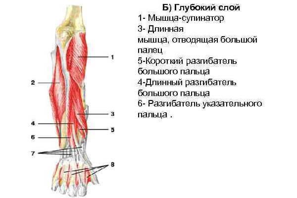 Мышцы предплечья глубокий слой