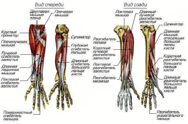 Мышцы предплечья вид спереди и вид сзади