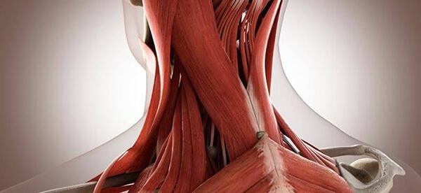 Мышцы шеи фото