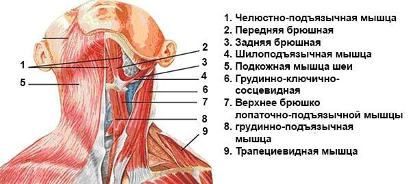 Передние мышцы шеи