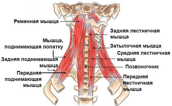Задние мышцы шеи