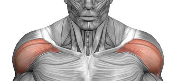 передняя дельта плеча где находится