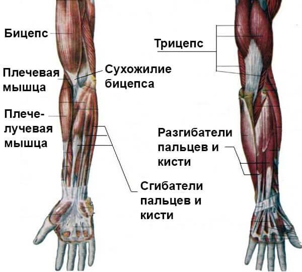 Мышцы руки схема-рисунок