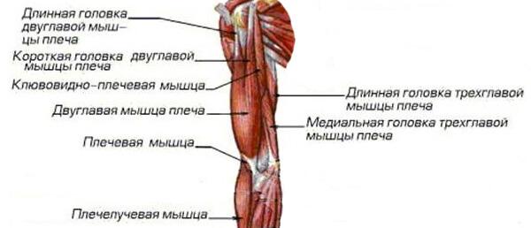 Анатомические особенности мышц рук