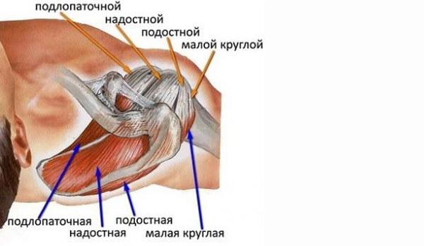 Мышцы стабилизатора плечевого пояса
