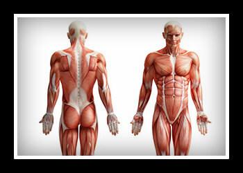 Мышцы стабилизаторы фото