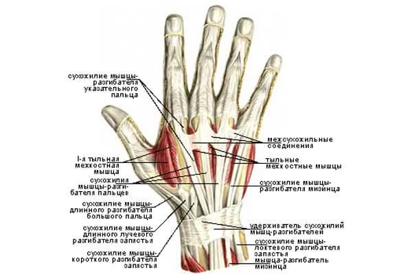 Строение мышц кистей верх схема