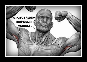 Клювовидно плечевая мышца