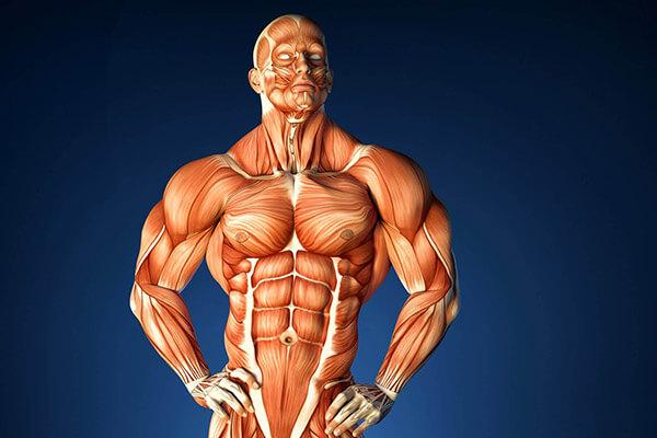 Мышцы человека картинка