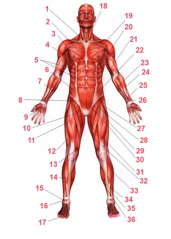 Мышцы человека схема с названиями - вид спереди