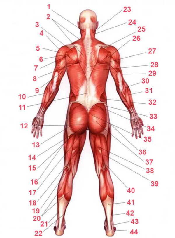 Мышцы человека схема с названиями - вид сзади