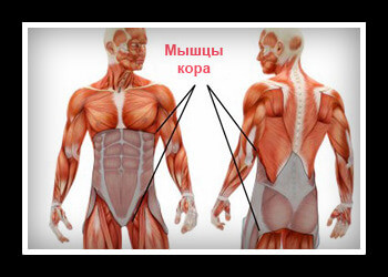 Мышцы кора фото