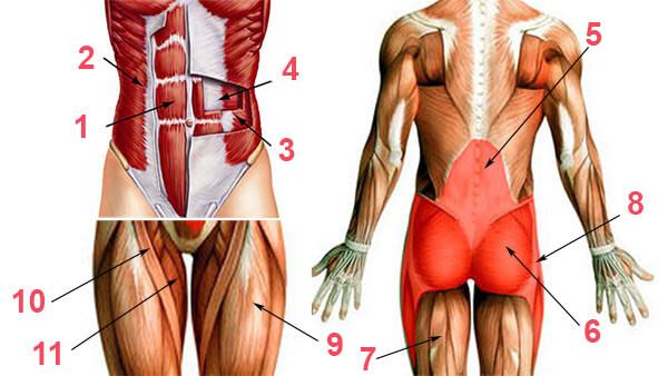Мышцы кора схема
