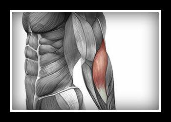 Плечелучевая мышца фото