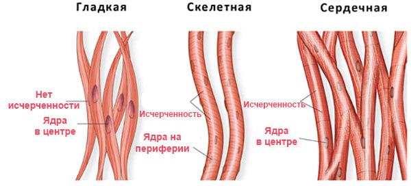 Типы ткани мышц