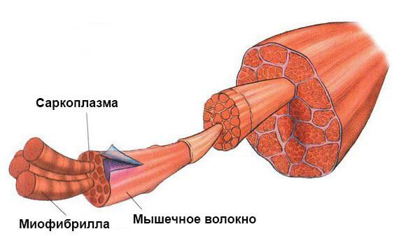 Виды гипертрофии мышц