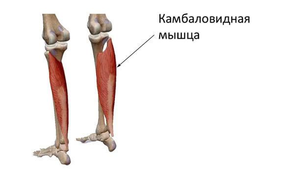 Камбаловидные мышцы строение
