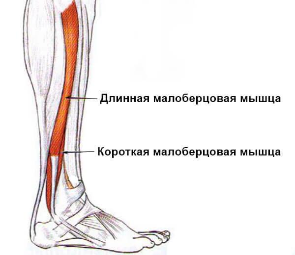 Латеральная группа мышц голени