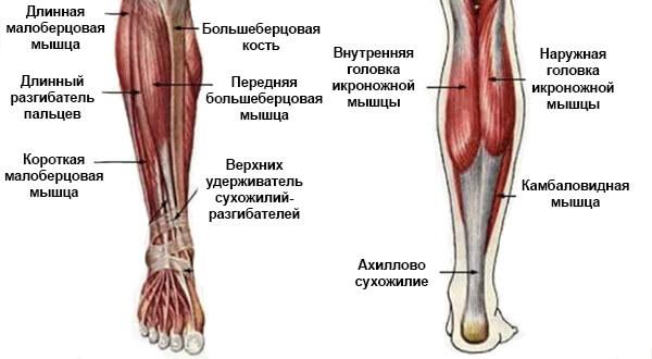 Мышцы ног ниже колена