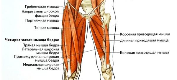 Мышцы ног передней группы