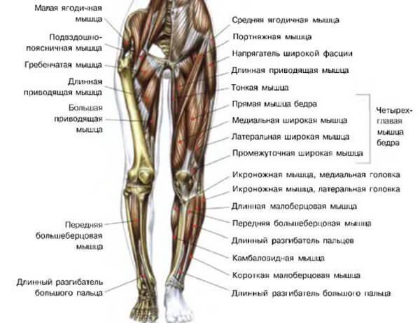Мышцы ног схема-рисунок