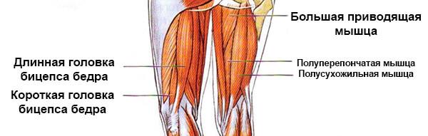 Мышцы ног задней группы