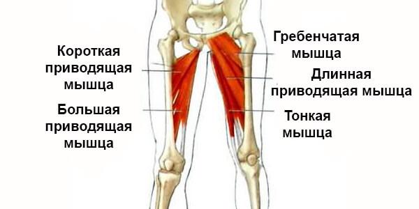 Приводящие мышцы ног схема рисунок