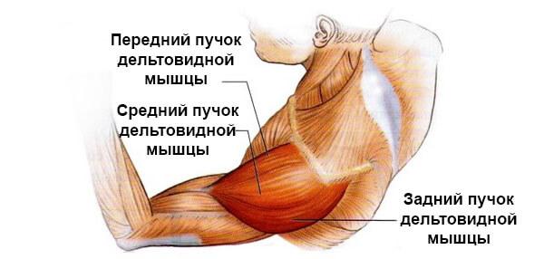 Дельтовидные мышцы строение фото