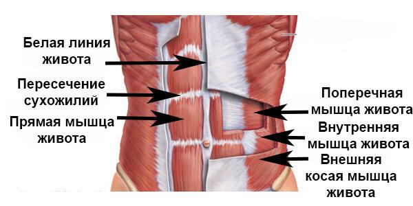 мышцы живота: анатомия картинка-схема