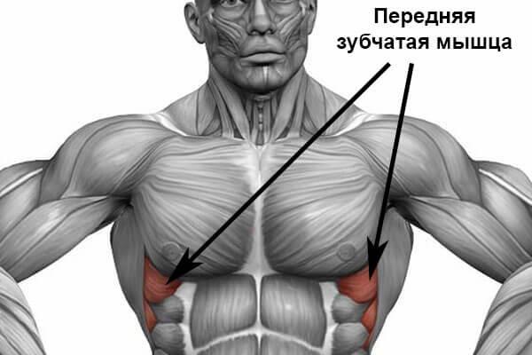 Передняя зубчатая мышца расположение