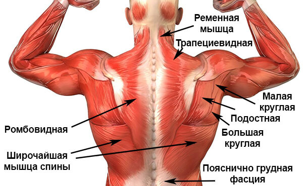 Поверхностные мышцы спины схема-картинка