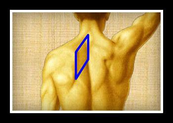 Ромбовидные мышца фото