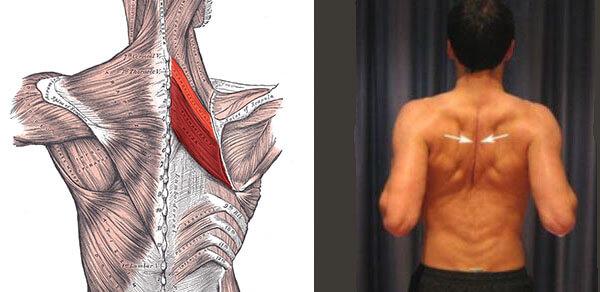 Ромбовидные мышца строение