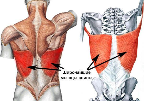 Строение широчайших мышц спины