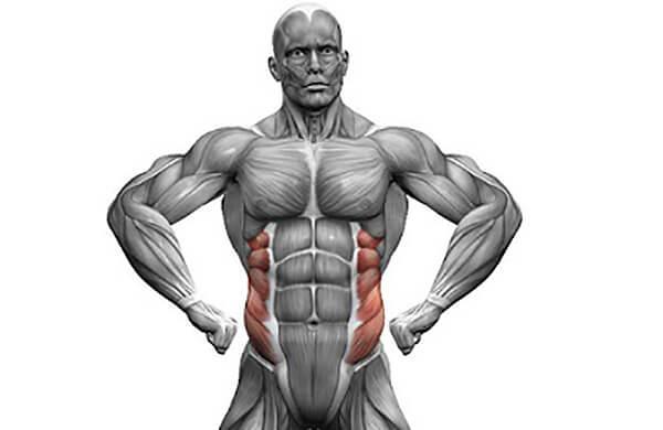 Косые мышцы живота анатомия