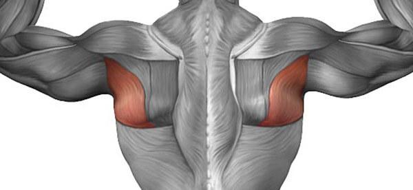 Большая и малая круглая мышца спины фото