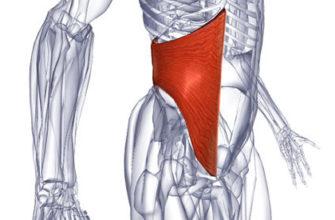 Поперечная мышца живота фото