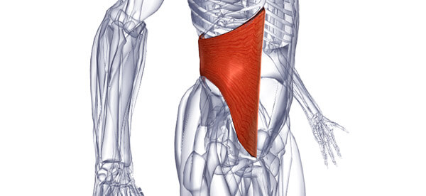 Функции мышц живота человека