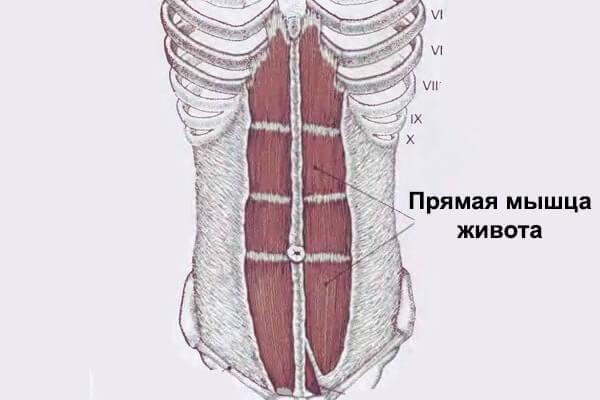 Прямая мышца живота анатомия