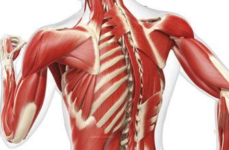Мышцы плечевого пояса фото