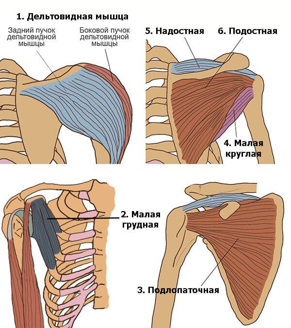 Мышцы плечевого пояса: схема-рисунок