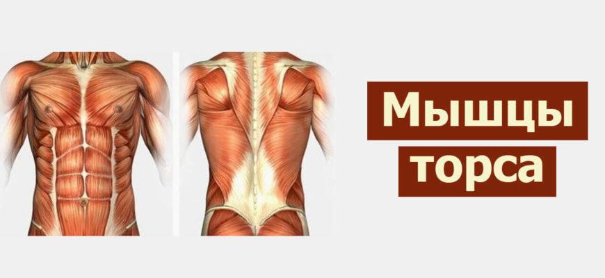 Мышцы туловища фото