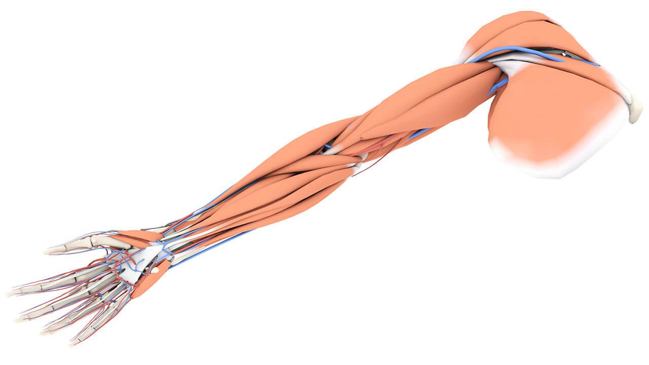Мышцы верхних конечностей фото
