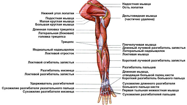 Мышцы верхних конечностей: схема 1