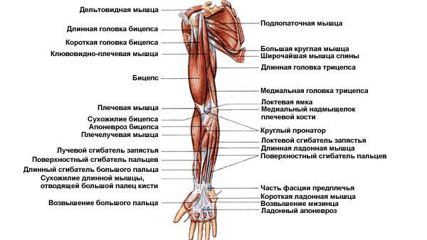 Мышцы верхних конечностей: схема 2