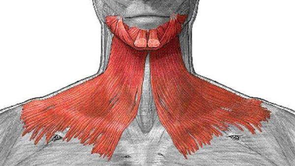 Подкожная мышца шеи: строение.
