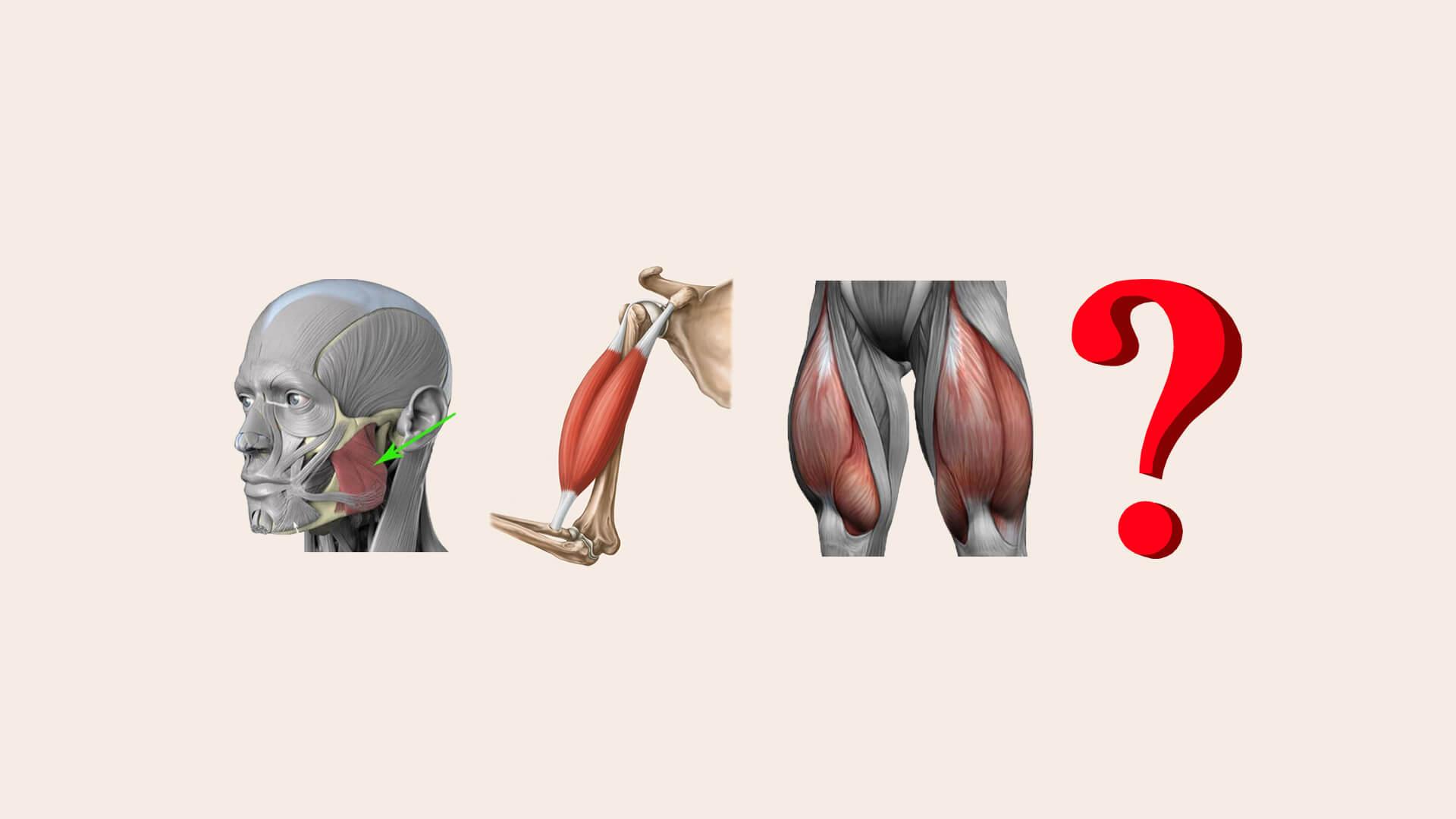 Самая сильная мышца: фото.