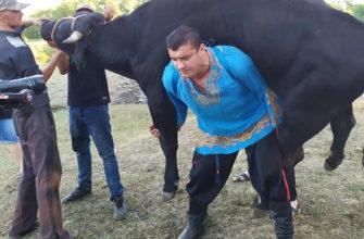 Дмитрий Халаджи поднял быка.
